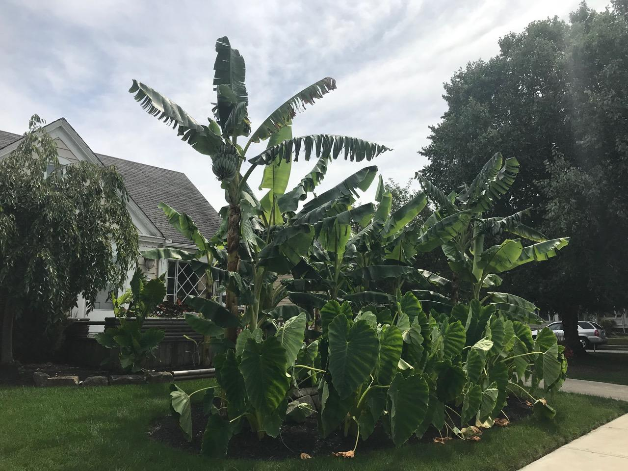 BANANAS GROW IN CLEVELAND 3