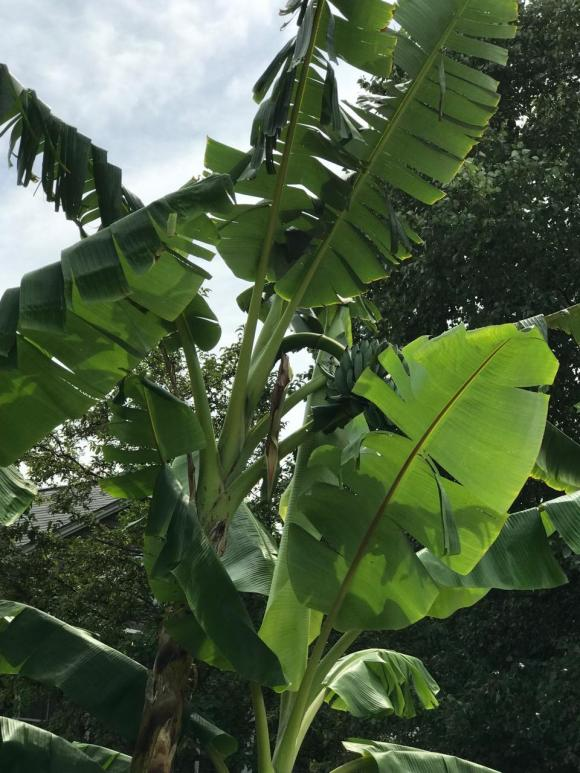 BANANAS GROW IN CLEVELAND 5