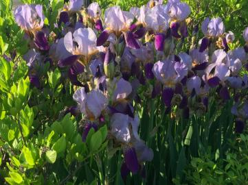 IRIS' PANSIES BLACK SQUIRRELS 1