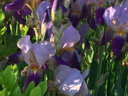 IRIS' PANSIES BLACK SQUIRRELS 2