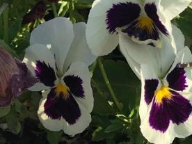 IRIS' PANSIES BLACK SQUIRRELS 5